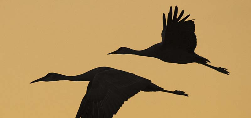 A bronze, orange background with silhouette of geese flying.