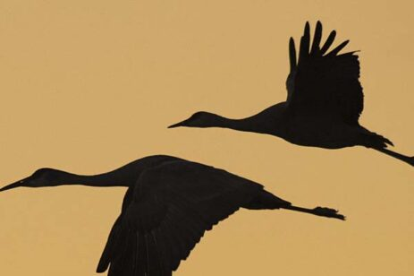 A bronze, orange background with silhouette of geese flying