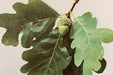 Green acorn and leaves